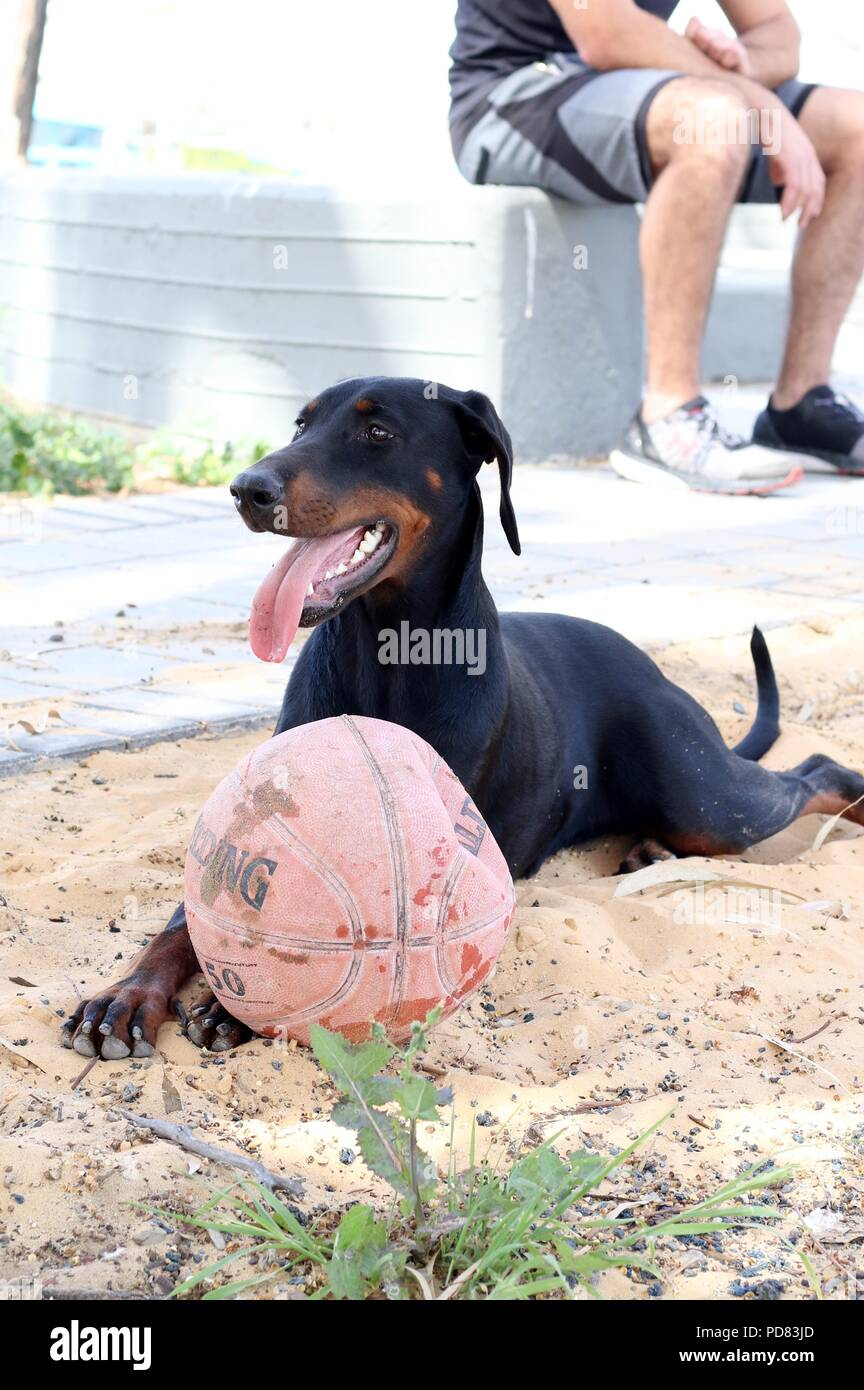 a dog resting in the park after a ball game - Stock Image