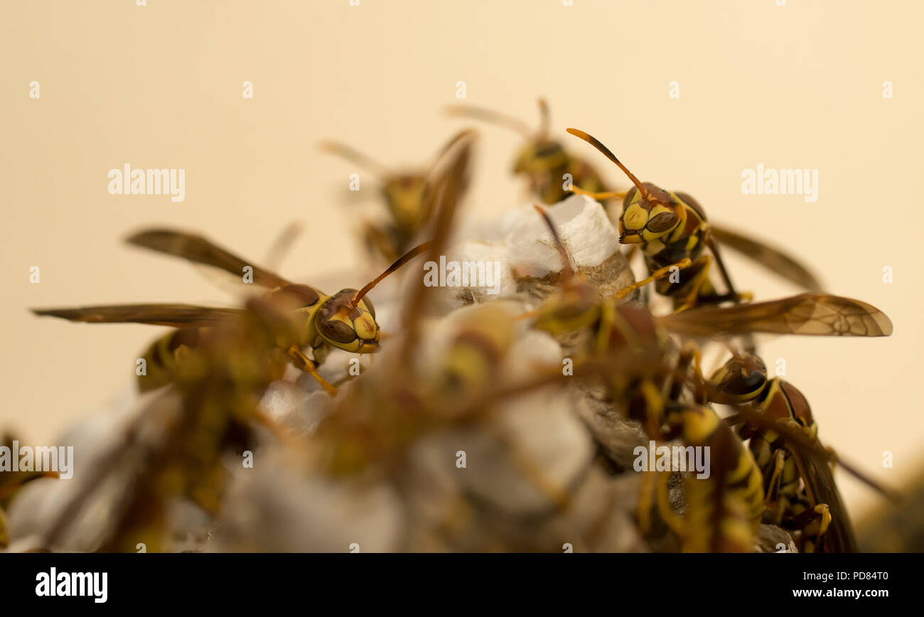 Yellow Jacket wasps tending to a nest - Stock Image