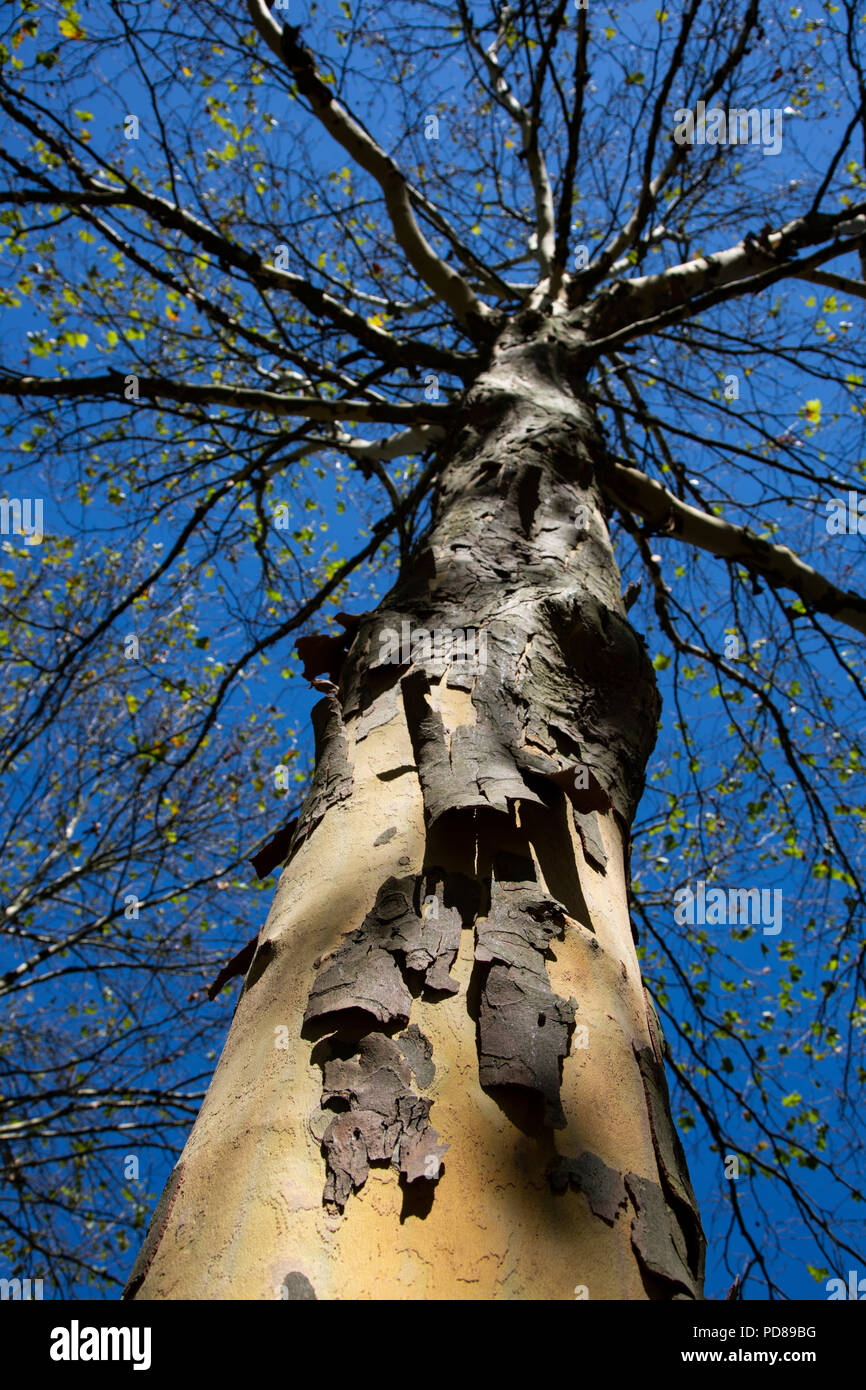 Duisburg, Germany. 6 August 2018. Many London Plane trees (Platanus × acerifolia) lose their foliage much earlier than usual because of the drought and hot weather conditions. Credit: Bettina Strenske/Alamy Live News Stock Photo