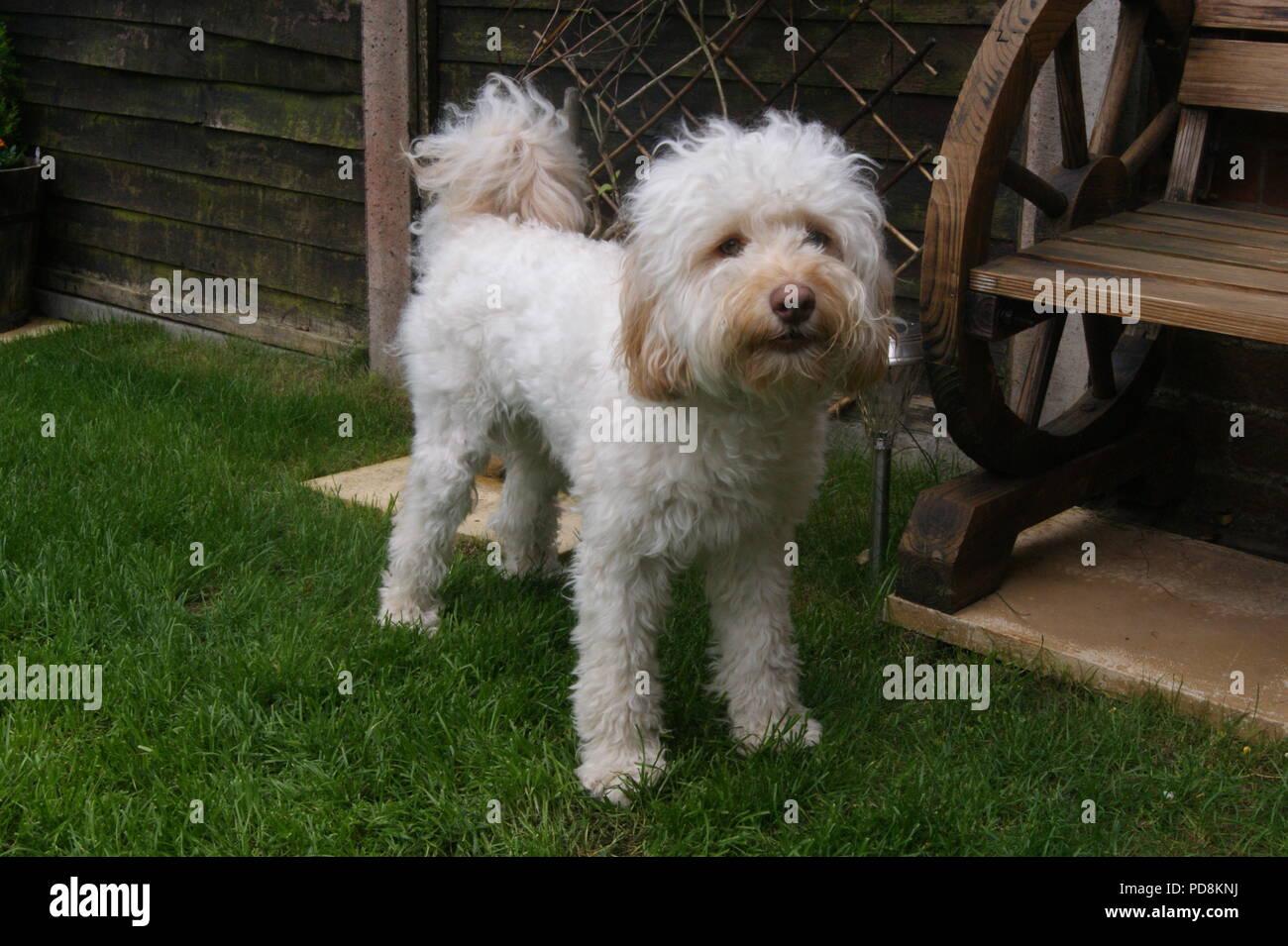 Cockerpoo dog in garden Stock Photo