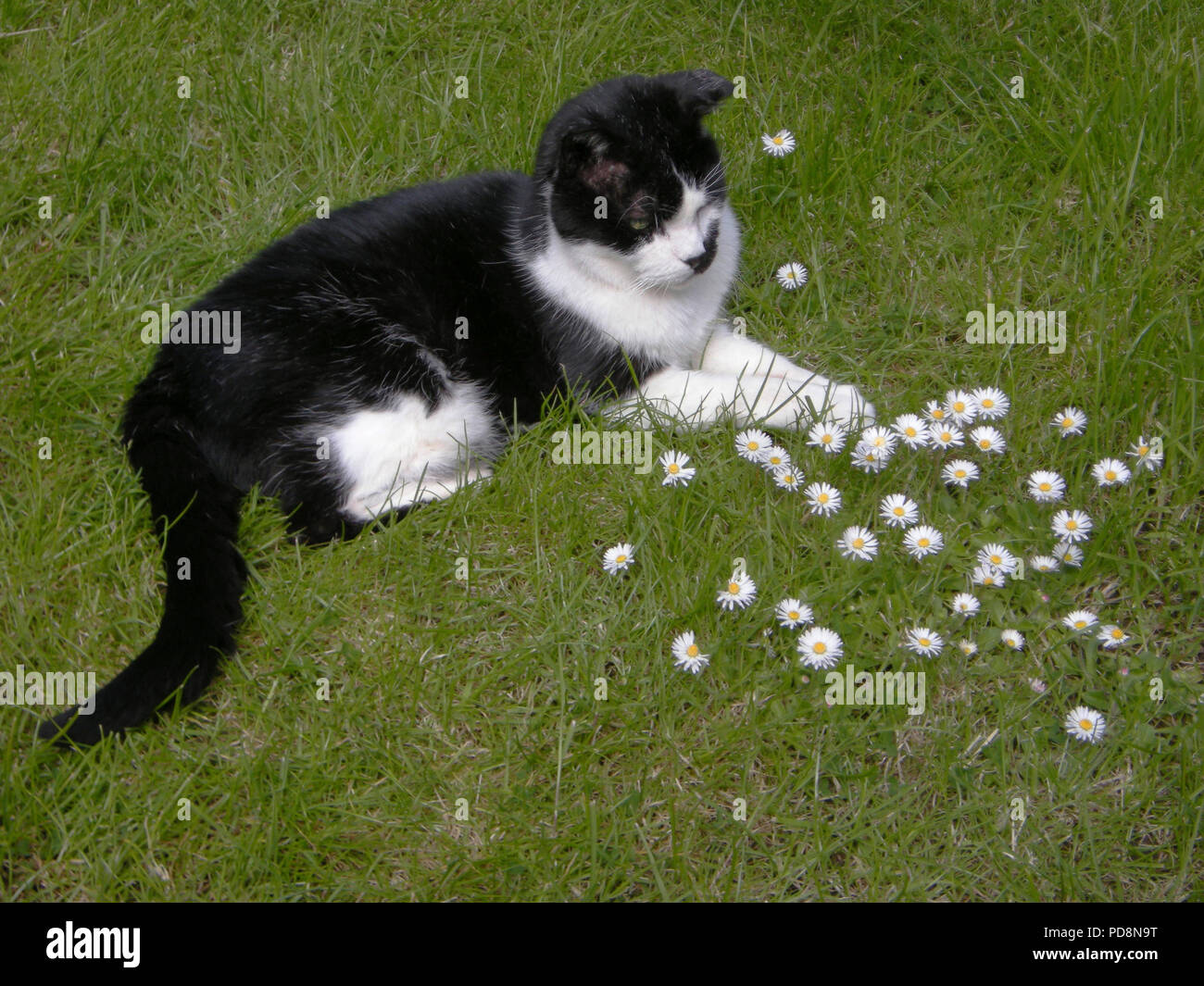 Mature British black and white male cat (Felis silvestris catus) laying on grass amidst daisies (Bellis perennis) in an English country garden Stock Photo