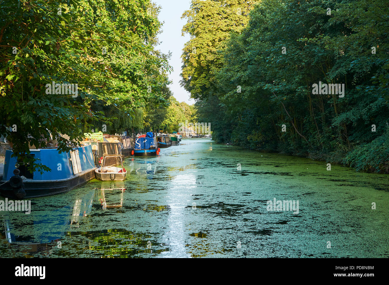 The Regents Canal at Victoria Park, East London, UK, filled with algae, durung the summer 2018 heatwave - Stock Image