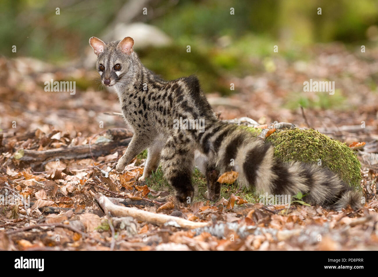 Genet Genetta Genetta France Genette D Europe Stock Photo Alamy