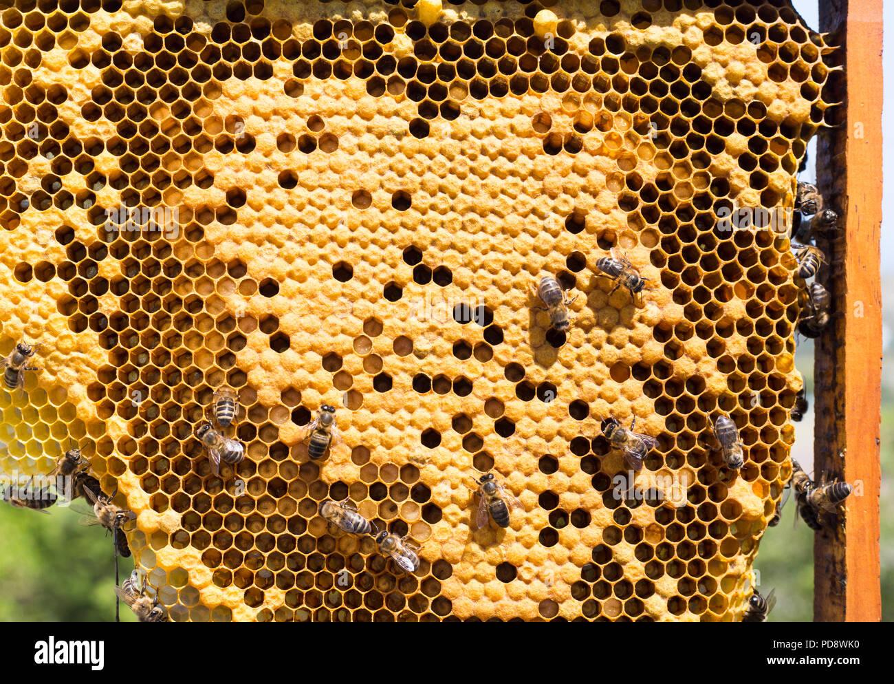 Iberian honey bees working - Stock Image