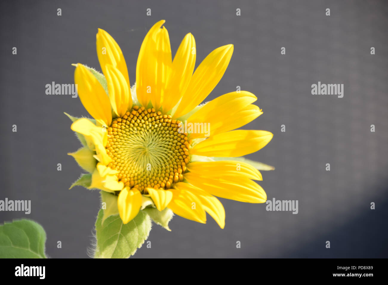 sunflower with yellow petals and hairy leaves, small species of helianthus annuus bloom in august - Stock Image