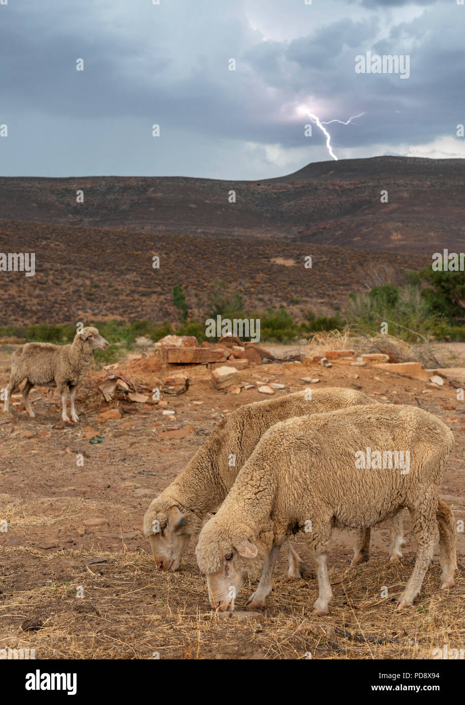 Sheep grazing during a lightning storm on a farm in the Cederberg Mountains in South Africa. Stock Photo