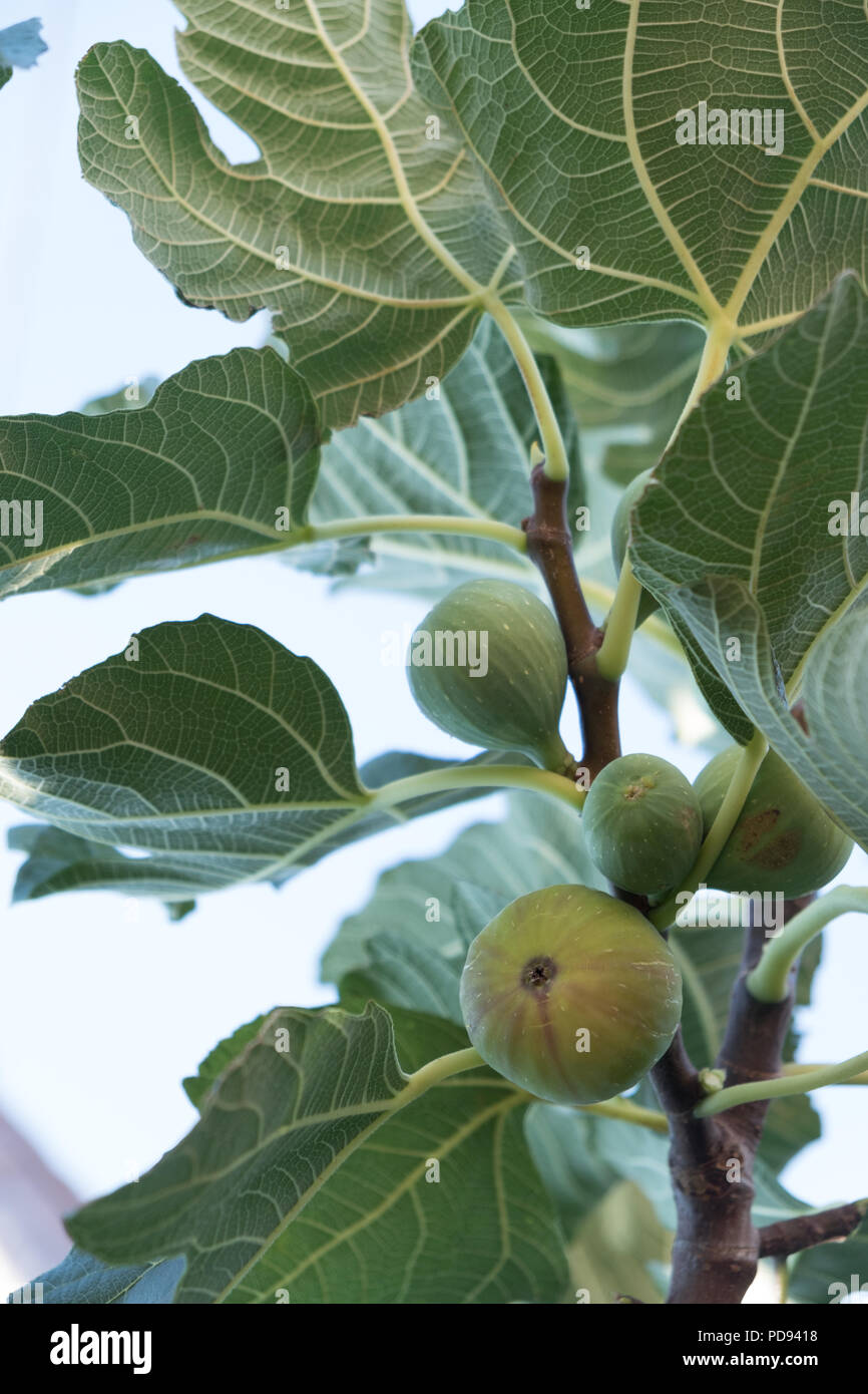 Green Figs on the tree ripening ( Ficus carica ) fruit better known as the common fig, Saronida, East Attica, Greece, Europe. Stock Photo