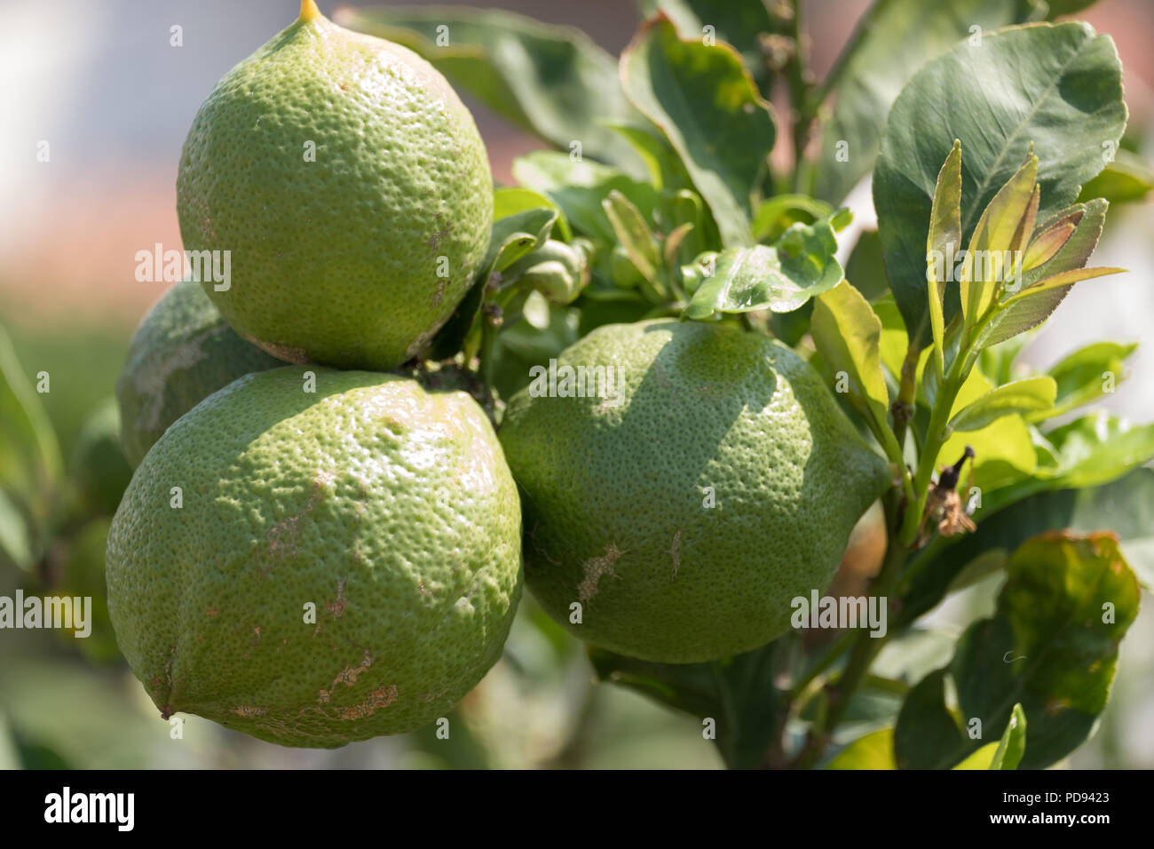 Green lemons on tree in sunshine, Citrus limon (L.) Osbeck, from the flowering plant family Rutaceae, now sold in Tesco, Saronida, Greece. Stock Photo