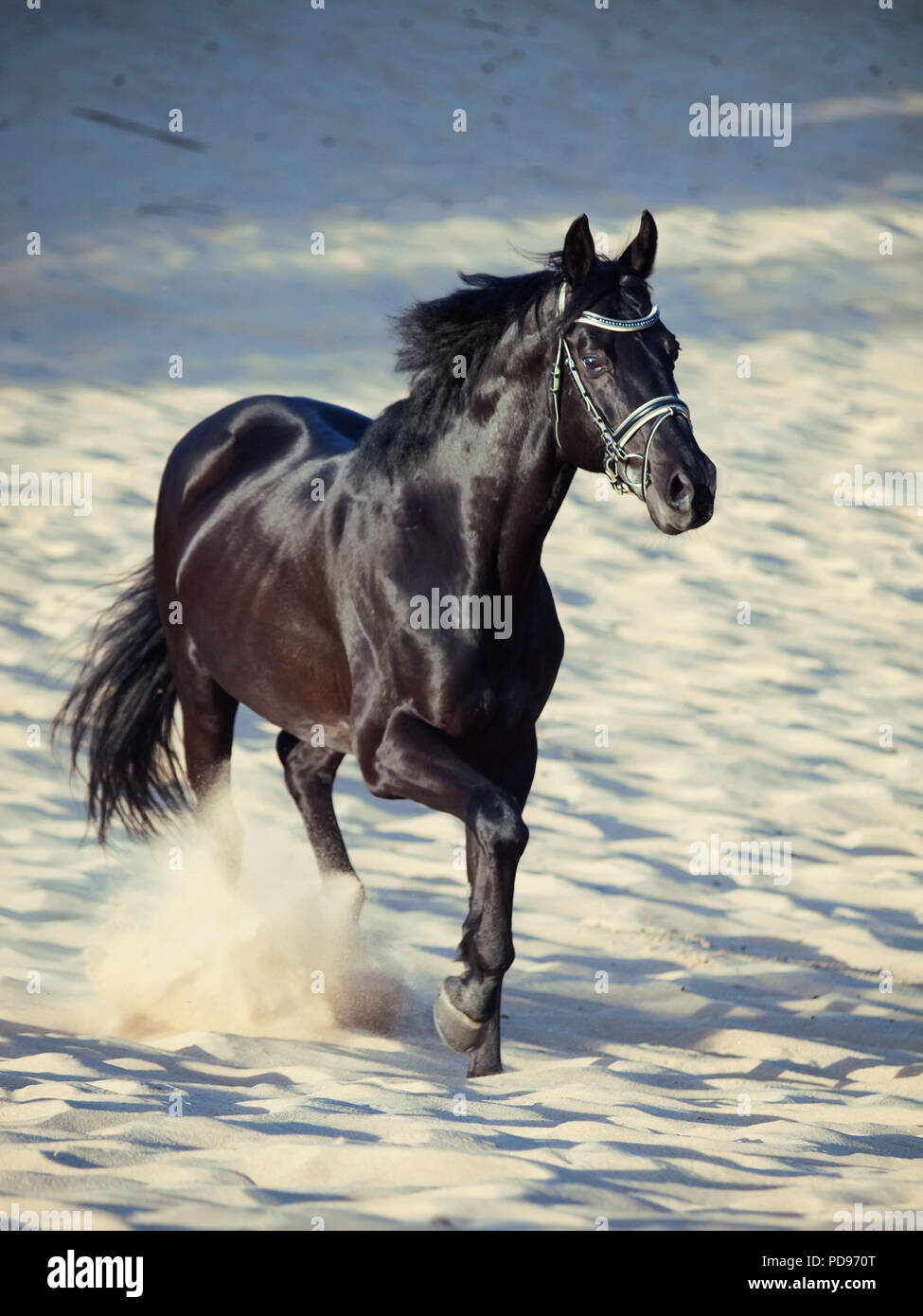 Running Beautiful Black Stallion In The Desert Stock Photo Alamy