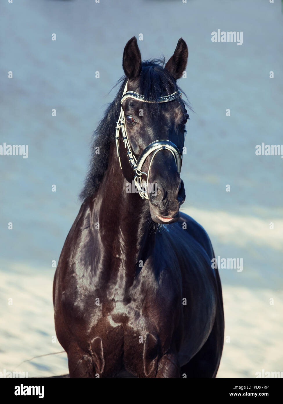 Beautiful Black Stallion Posing In The Desert Stock Photo Alamy