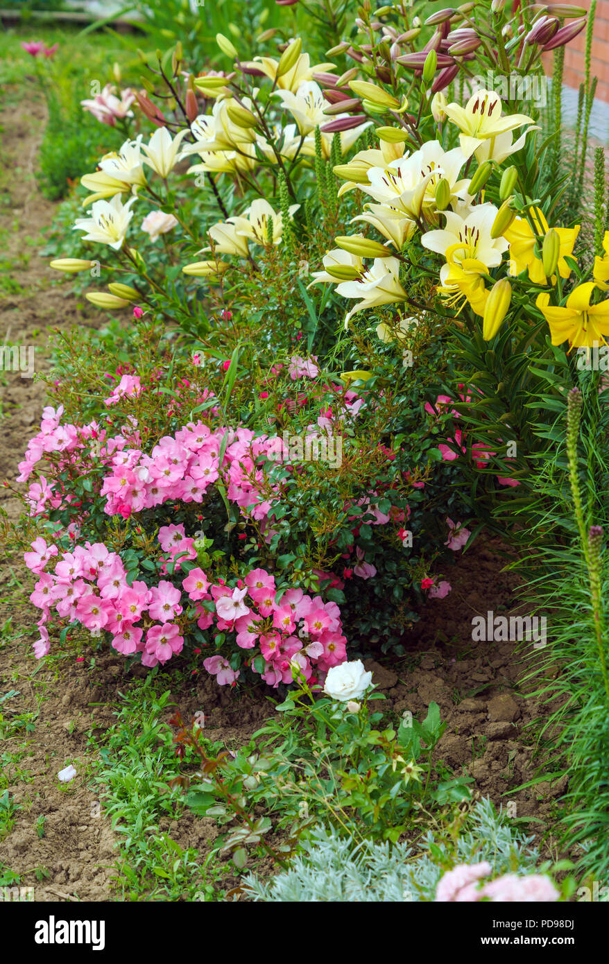 A Rose Bush Rose With Small Numerous Flowers And Large Yellow Lilies
