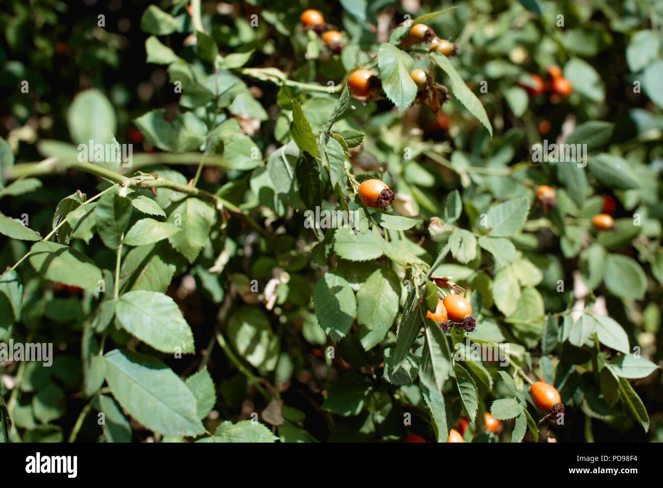 Orange rosehips growing on a bush, as they ripen they turn red & will be ready to pick after the first frost. Traditional ingredient in rose hip jelly - Stock Image