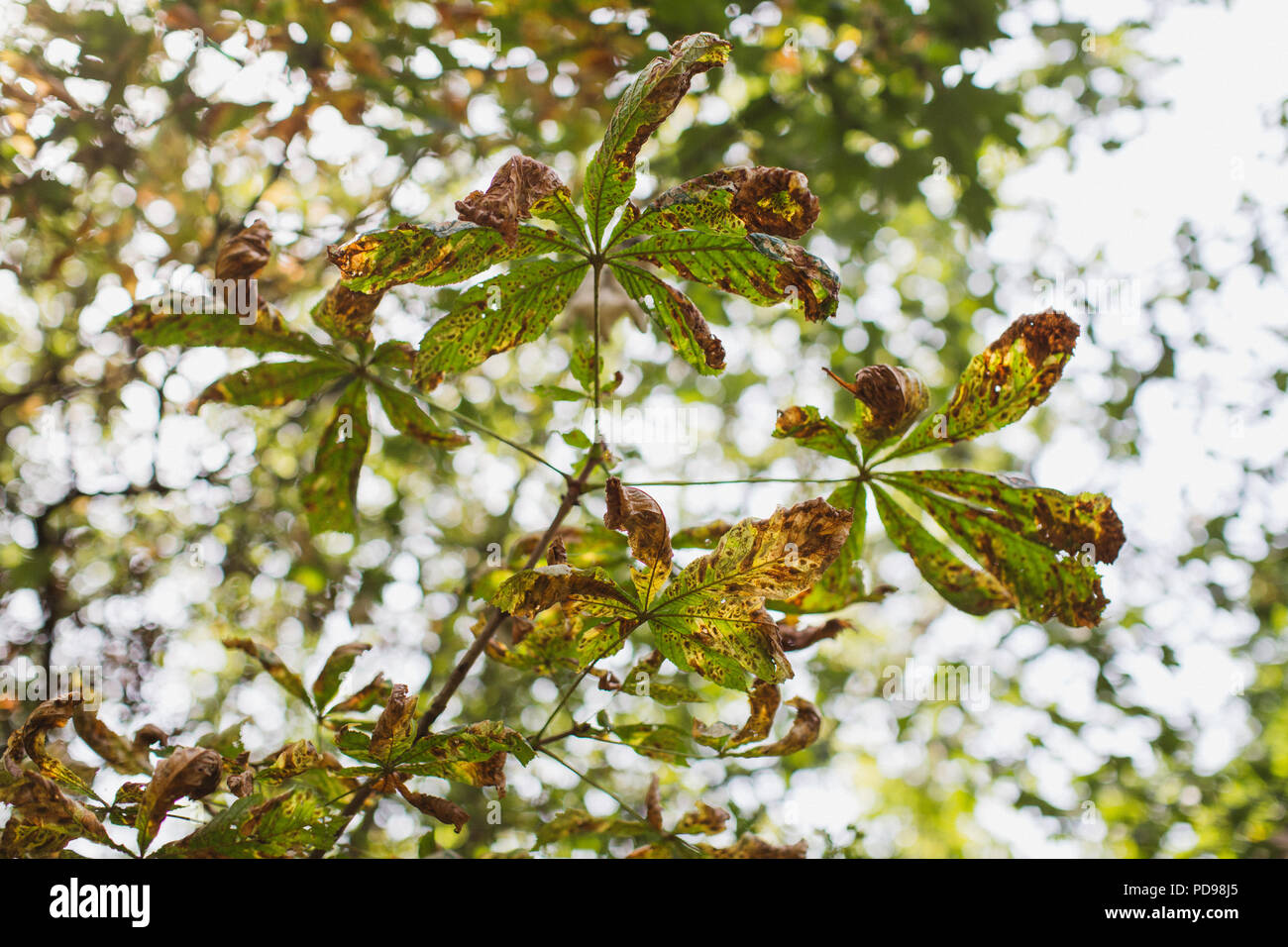 The conker tree (Horse Chestnut) could vanish from Britain because of disease and invasive moths. These leaves show signs of damage. - Stock Image