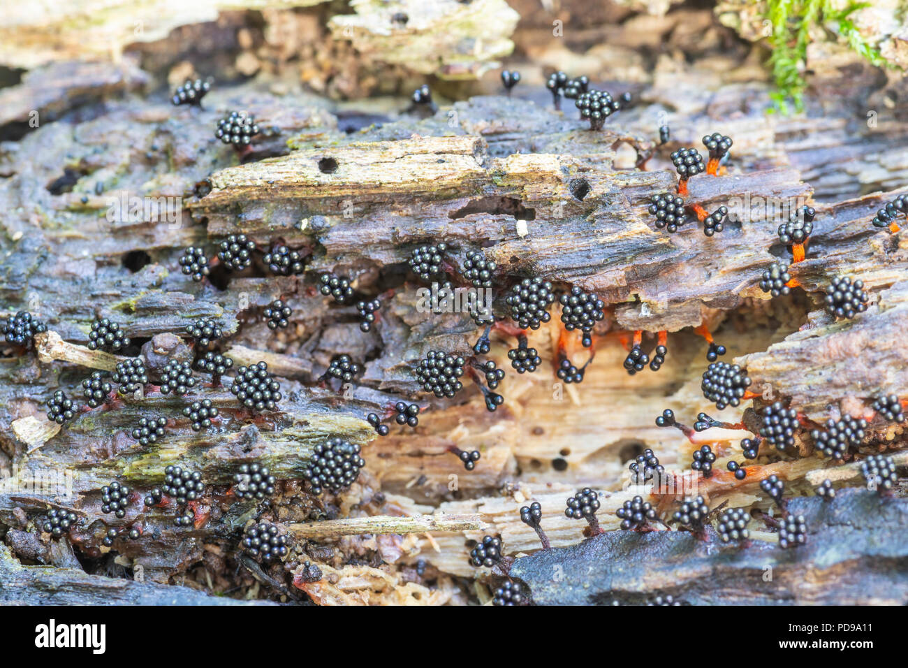 Fruiting bodies of Multigoblet Slime Mold (Metatrichia vesparium) grow on the side of a rotting dead tree. - Stock Image