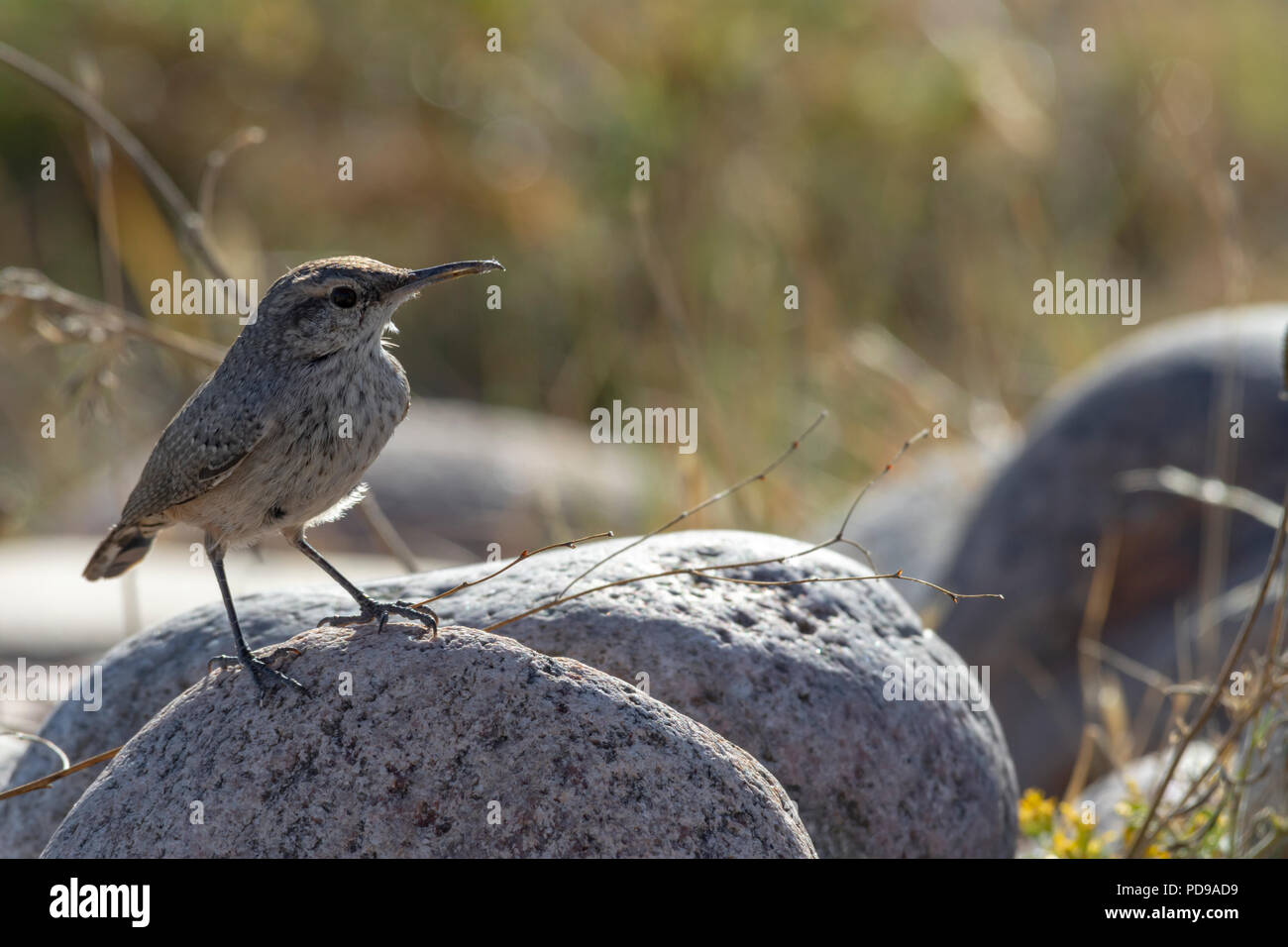 Rock Wren, Pawnee Buttes National Grassland, Colorado US. - Stock Image