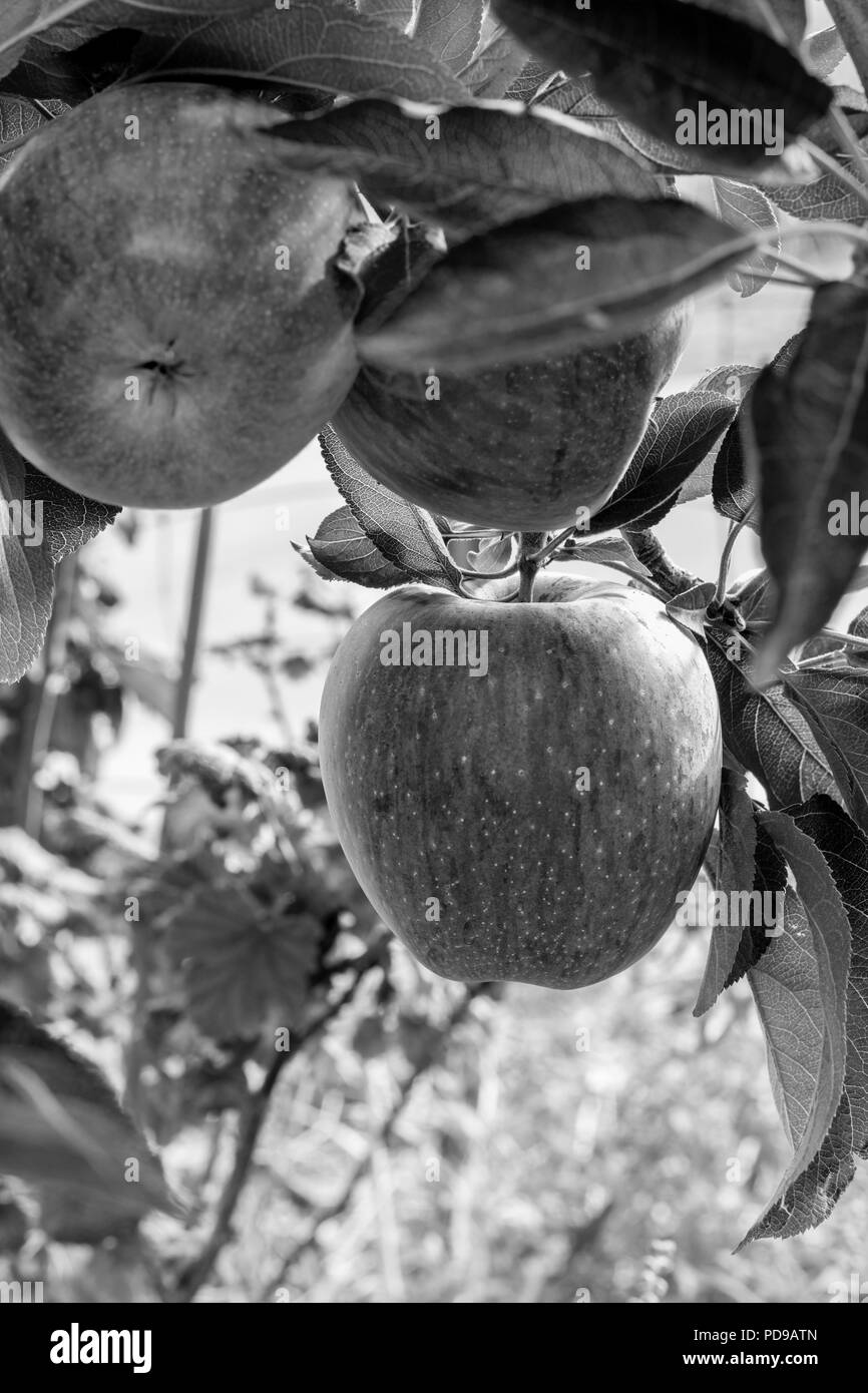 BW, Black and white group of 3 fresh ripe natural red heirloom, organic apples close up on branches in a tree, healthy vegetarian, diet, fun, sweet sn - Stock Image