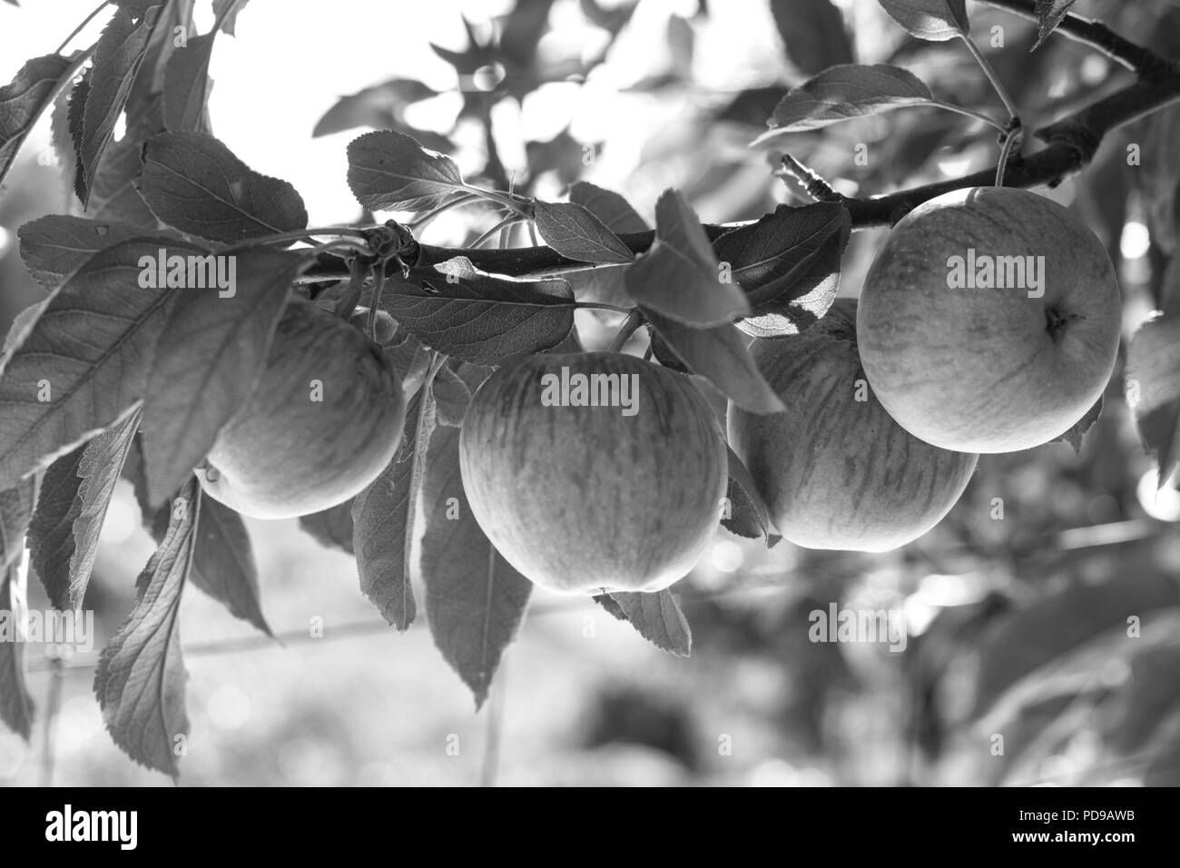 Black and white, BW, group of 4 fresh ripe natural red heirloom, organic apples close up on branches in a tree, healthy vegetarian, diet, fun, sweet s - Stock Image