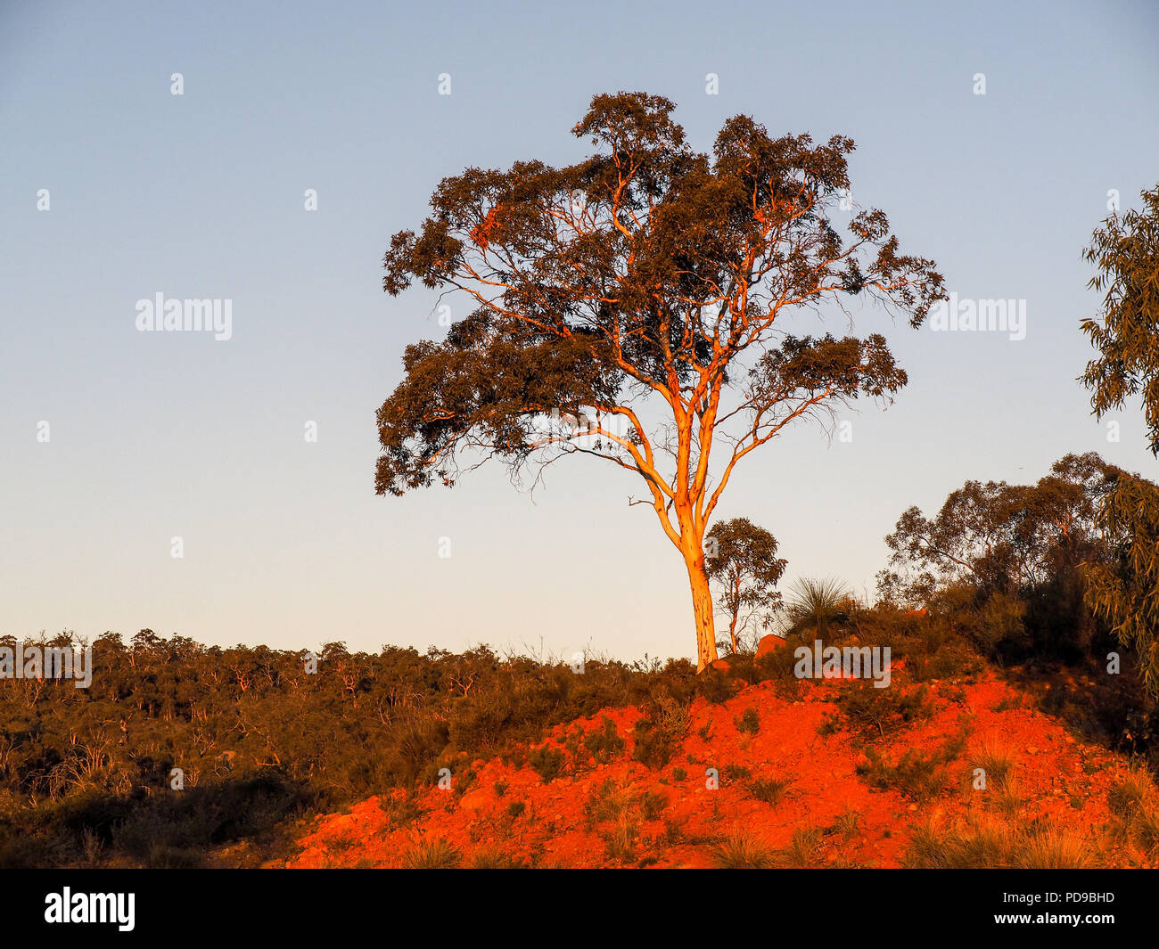 Setting sun strikes eucalypt, Red Hill, Western australia - Stock Image