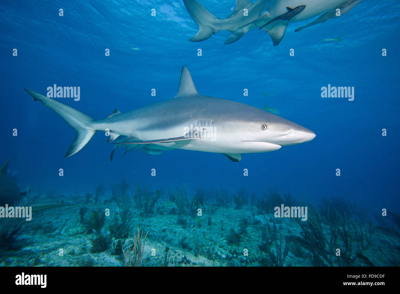 This Caribbean Reef Shark, Carcharhinus perezi, was attracted to Mr. Fleetham's camera with the use of bait.  Sharks are generally shy, cautious creat - Stock Image