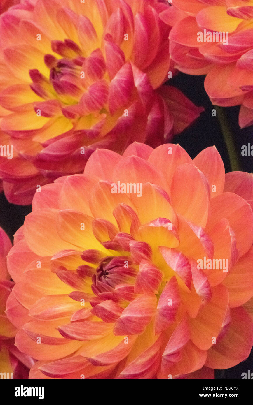 Pink and peach coloured dahlias with yellow tinge, national flower of Mexico, symbol of grace, creativity and commitment - Stock Image