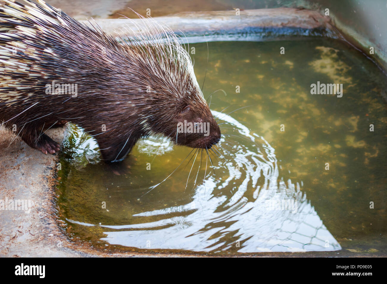 Porcupine in zoo. - Stock Image