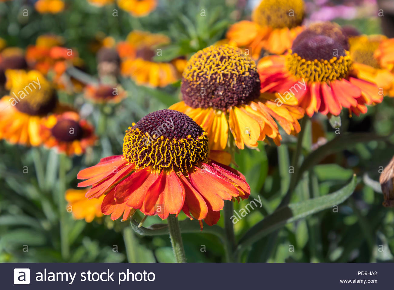 Closeup of the orange and yellow flowers of Helenium 'Short and Sassy' (AKA Helens flower), in Summer (August) in West Sussex, UK. - Stock Image
