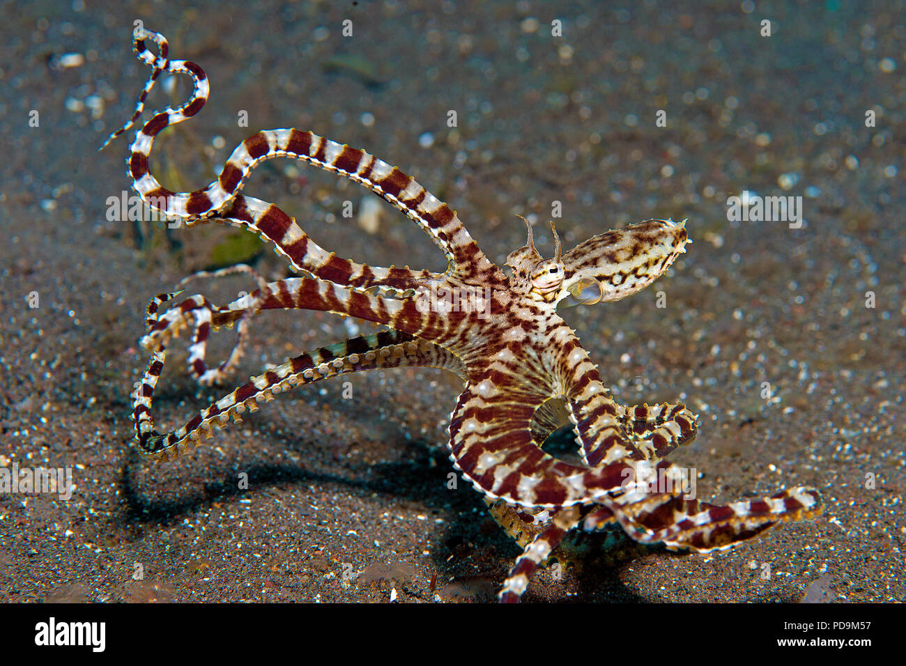 Wonderpus octopus (Wunderpus photogenicus) at sea bottom, Komodo National Park, Komodo Island, small Sunda Islands, Indonesia - Stock Image