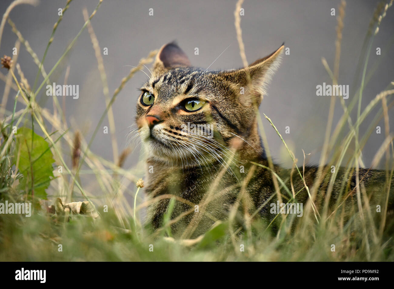Domestic cat, kitten, 9 months, animal portrait in high grass, Germany - Stock Image