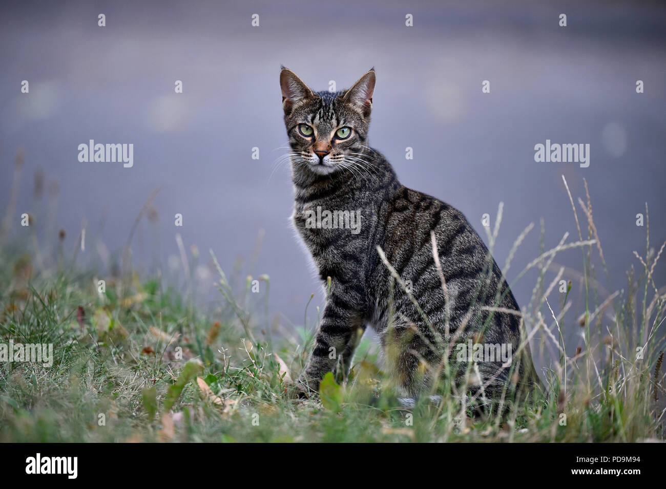 Domestic cat, kitten, 9 months, sitting in the grass, Germany Stock Photo
