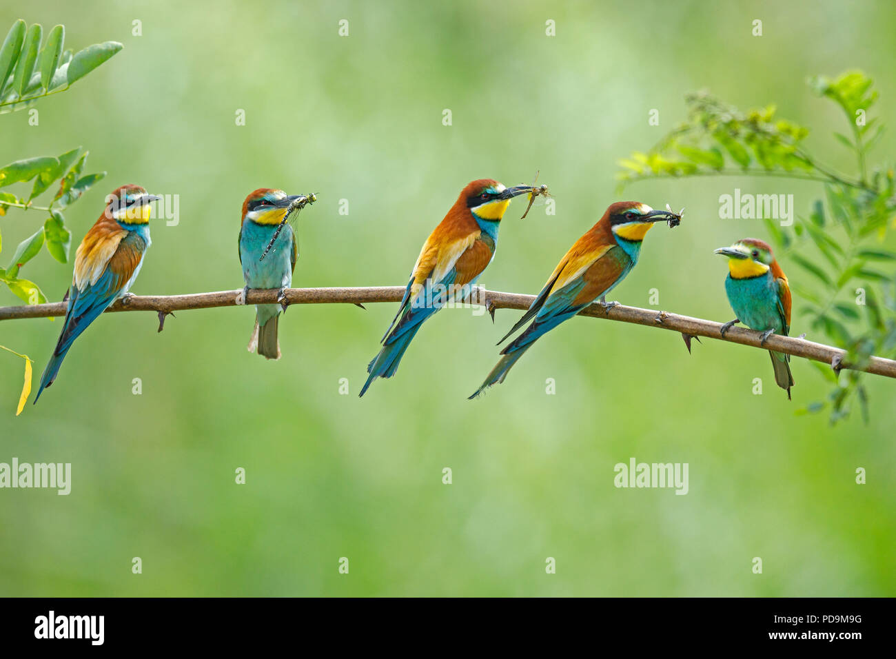 Five Bee-eaters (Merops apiaster) with prey in their beaks, sitting during the breeding season on branch, Rhineland-Palatinate - Stock Image