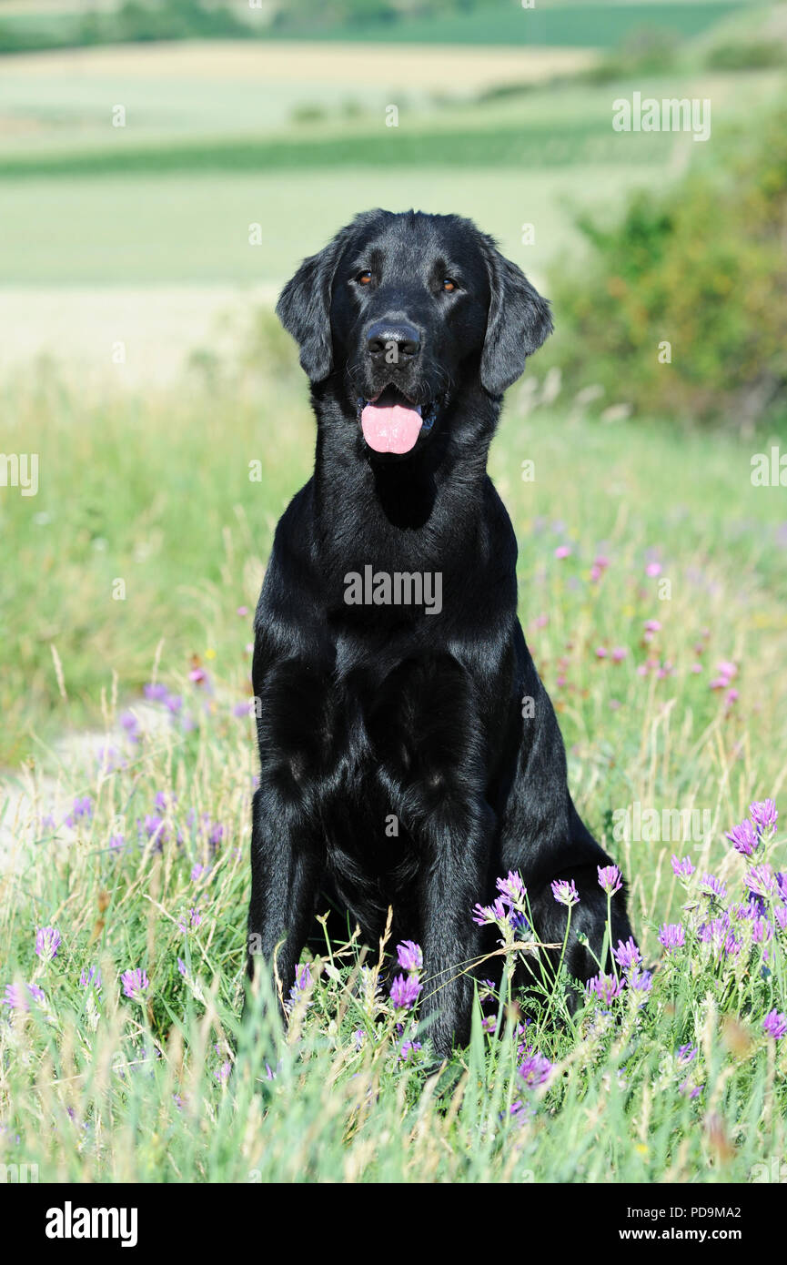 The Flat Coated Retriever High Resolution Stock Photography And Images Alamy