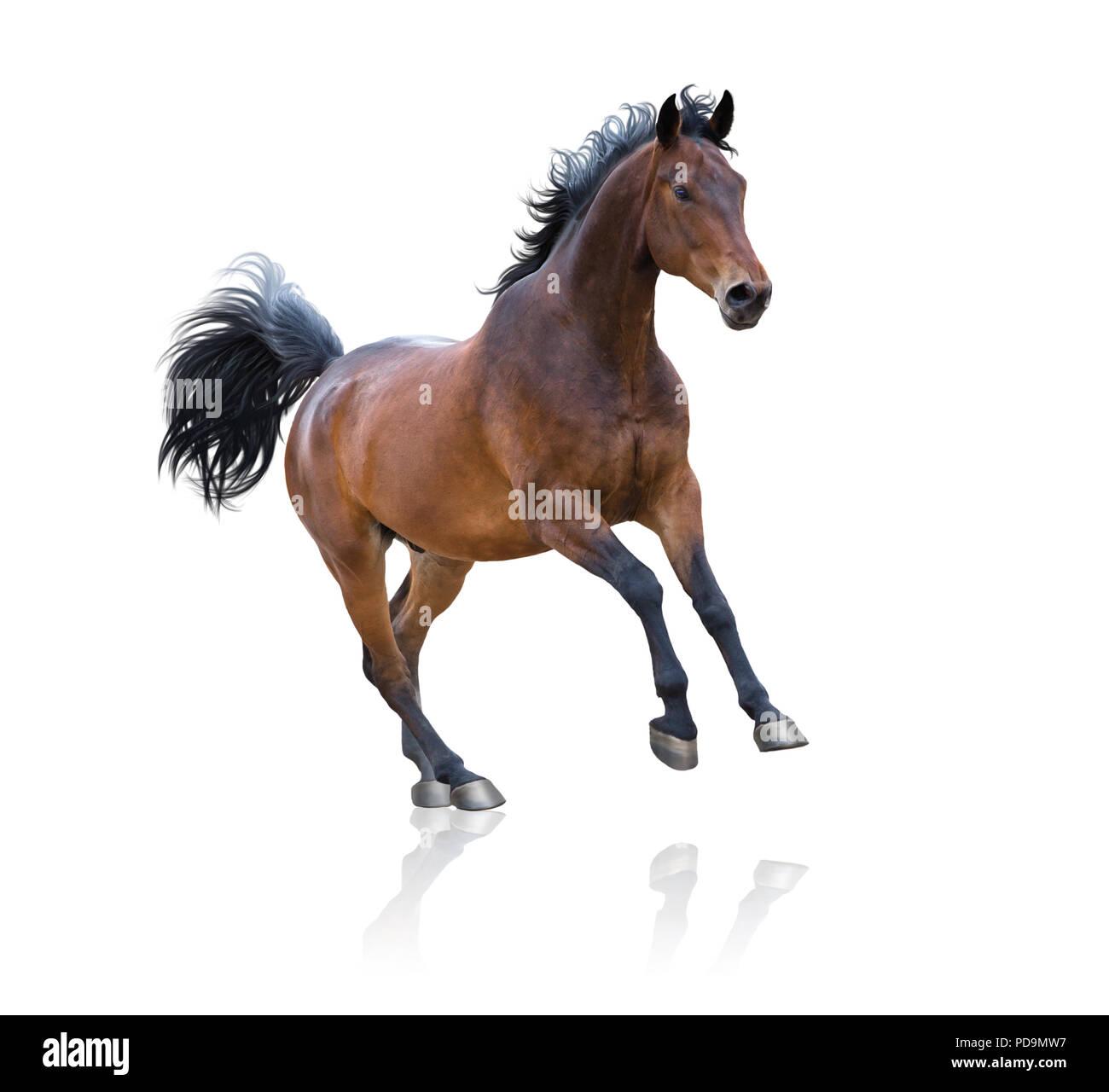Bay horse runs on white background - Stock Image