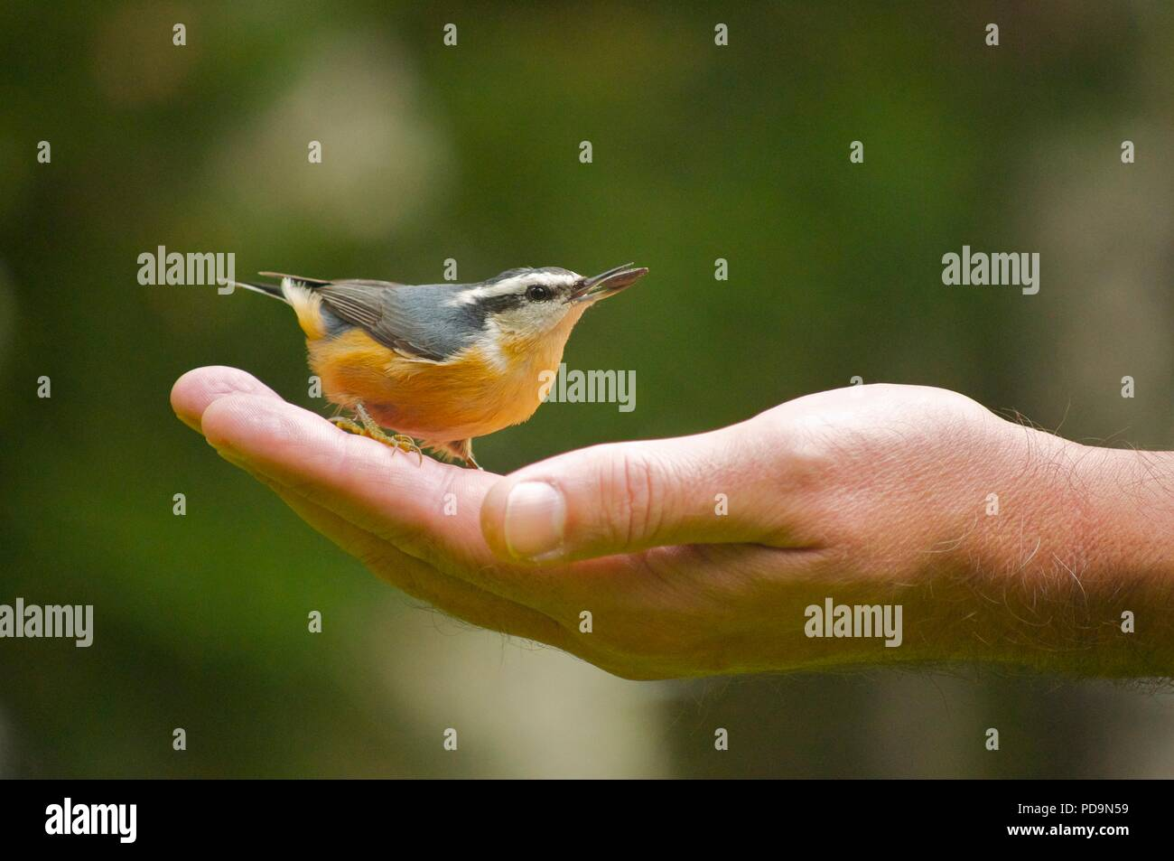 Bird sitting in palm of hand (Red-breasted nuthatch)  (Sitta canadensis) (bird sat in someones hand) (holding bird) (hand feeding birds) - Stock Image