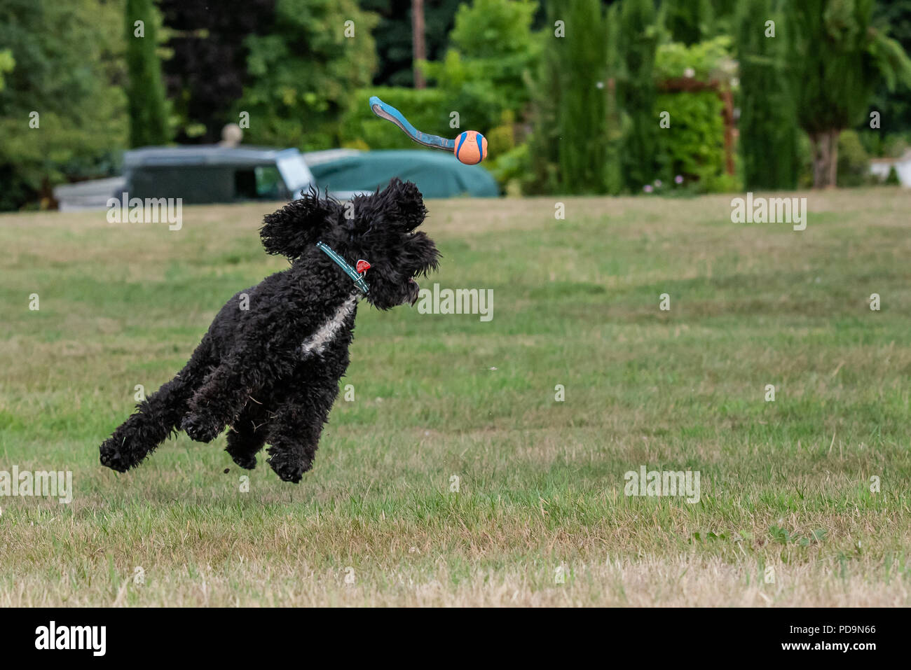 cockerpoo for jumping for a ball - Stock Image