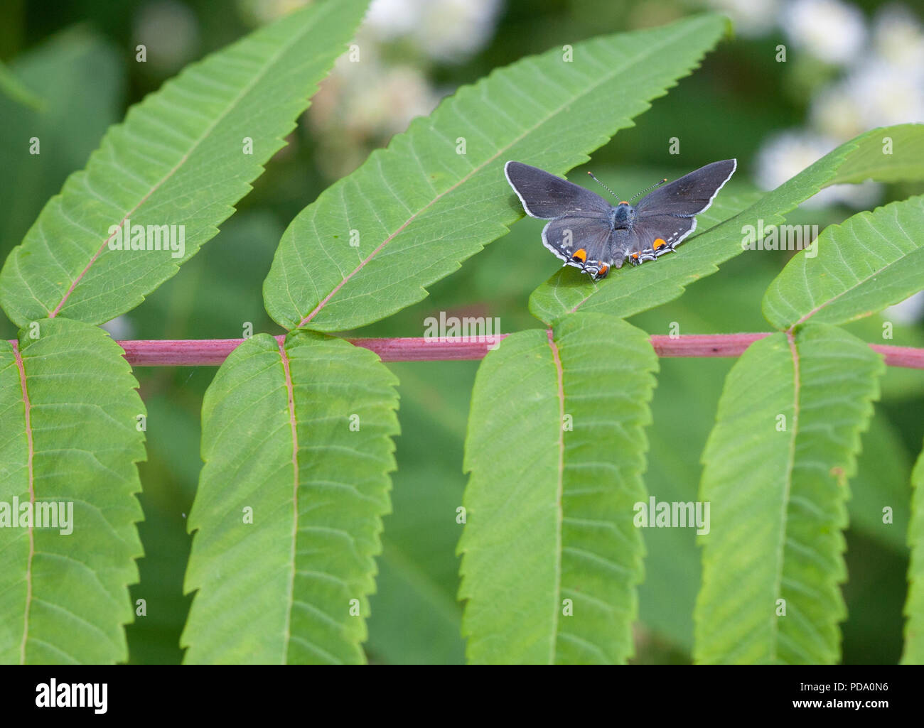 A Gray Hairstreak (Strymon melinus) butterfly perches with its wings open on some sumac leaves - Stock Image