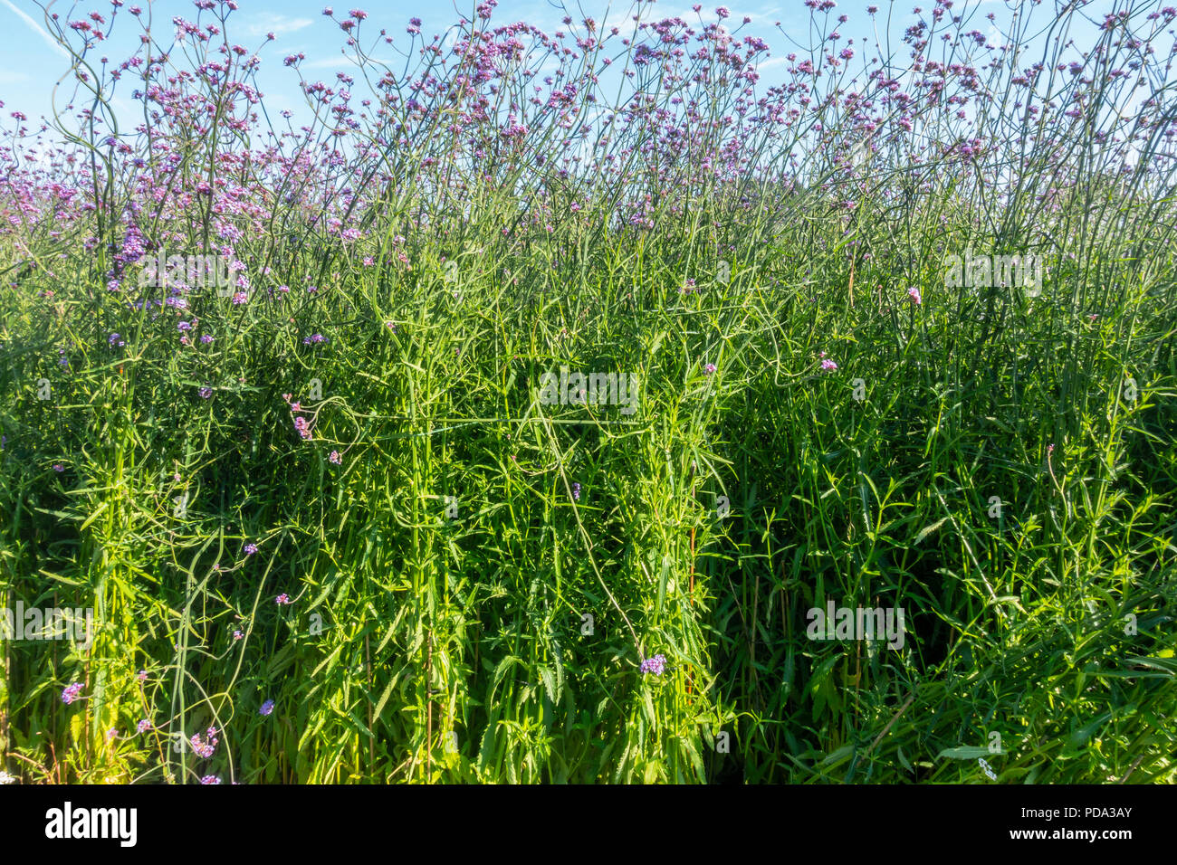 A mass planting of Verbena bonariensis, Argentinian Vervain, a plant originating in South America. - Stock Image
