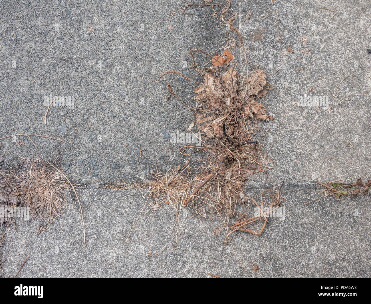 Dead weeds growing from cracks in paving stones during UK 2018 heatwave / drought - more likely killed with a weedkiller like Roundup / glyphosate. - Stock Image