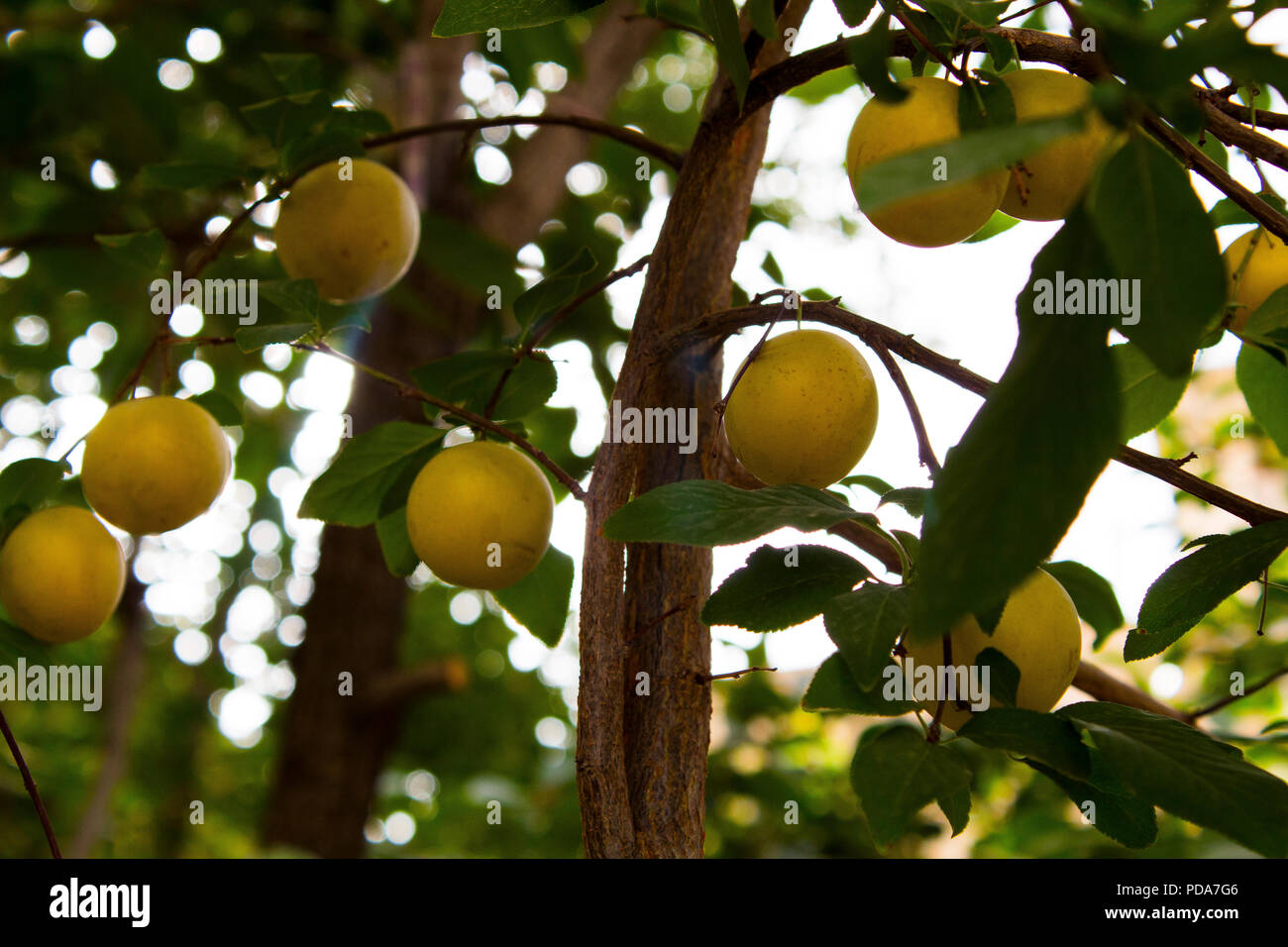 Plum-tree branch with plum .this is Plum garden and the fruit trees ...