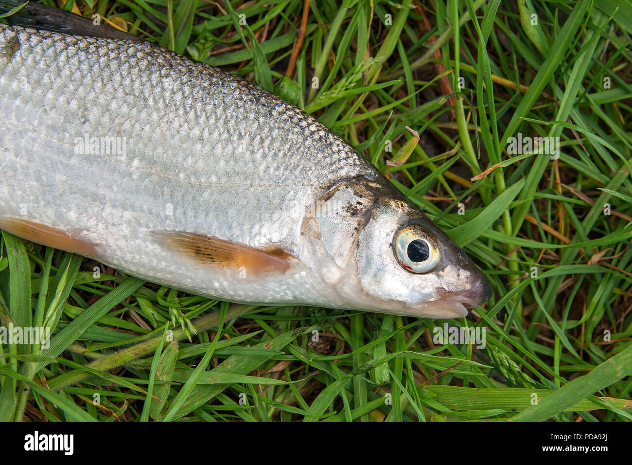 Close up view of just taken from the water freshwater common nase fish known as European potamodromous cyprinid fish on green grass. Stock Photo
