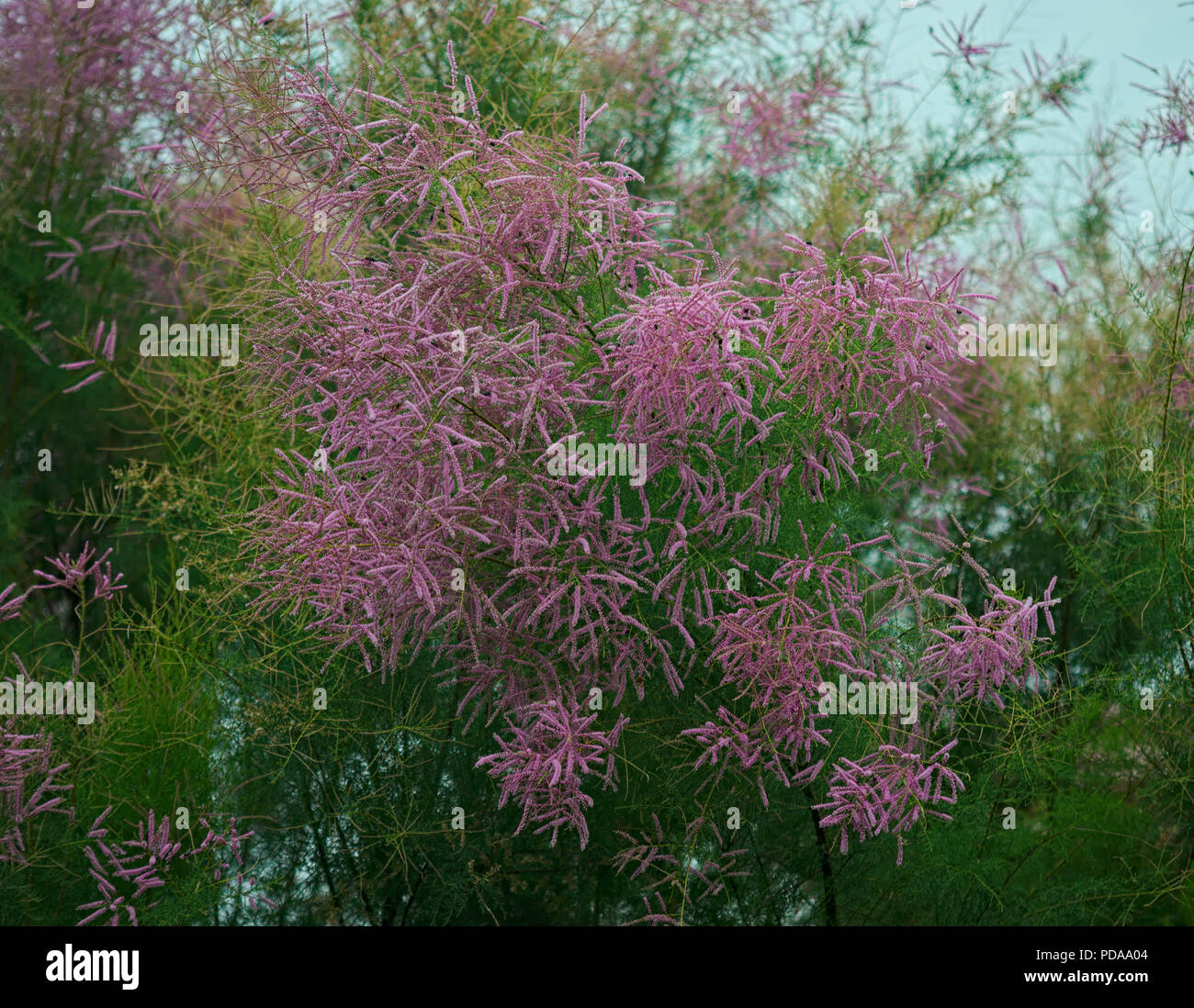 Fern like tree stock photos fern like tree stock images alamy fern like tree blooming with pink flowers stock image mightylinksfo