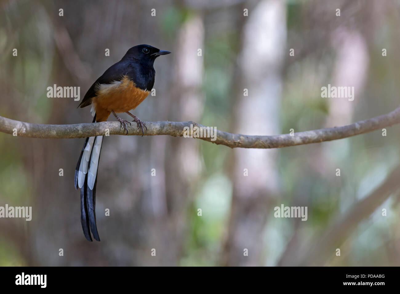 White-rumped Shama - Copsychus malabaricus, beautiful iconic  perching bird from Asian forests, Sri Lanka. - Stock Image