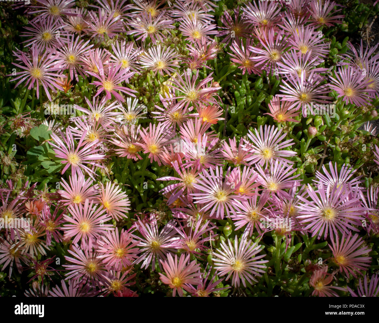 Pink Ice Plant Flowers - Stock Image