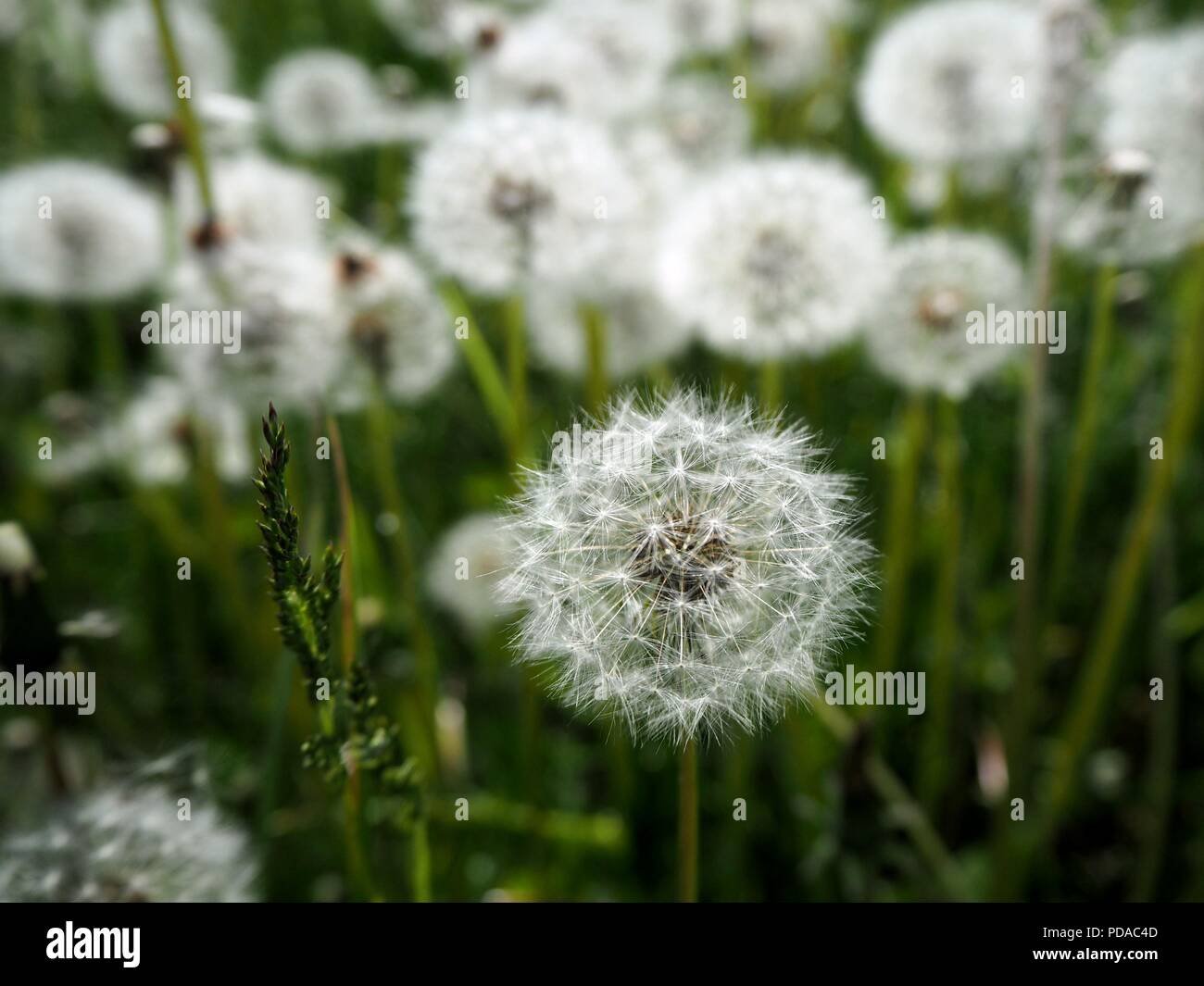 White dandelion flower field in the summer with blue sky in the white dandelion flower field in the summer with blue sky in the backgroundwhite dandelion flower field in the summer mightylinksfo