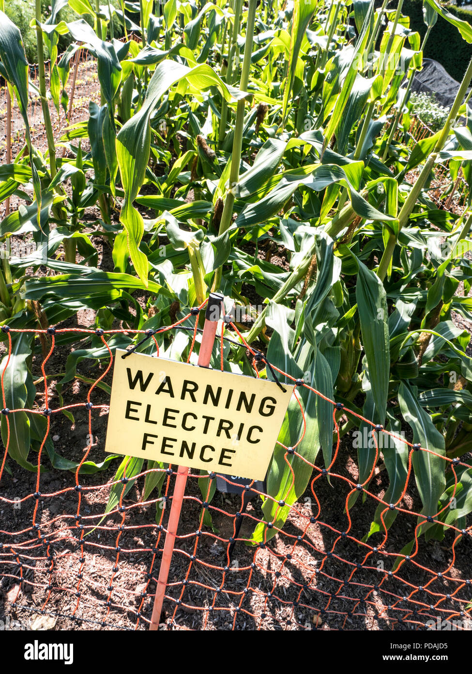 Sweet corn (Zea mays convar. saccharata var. rugosa) Electric Fence with Sign guarding sweetcorn vegetable garden against animal intruders - Stock Image