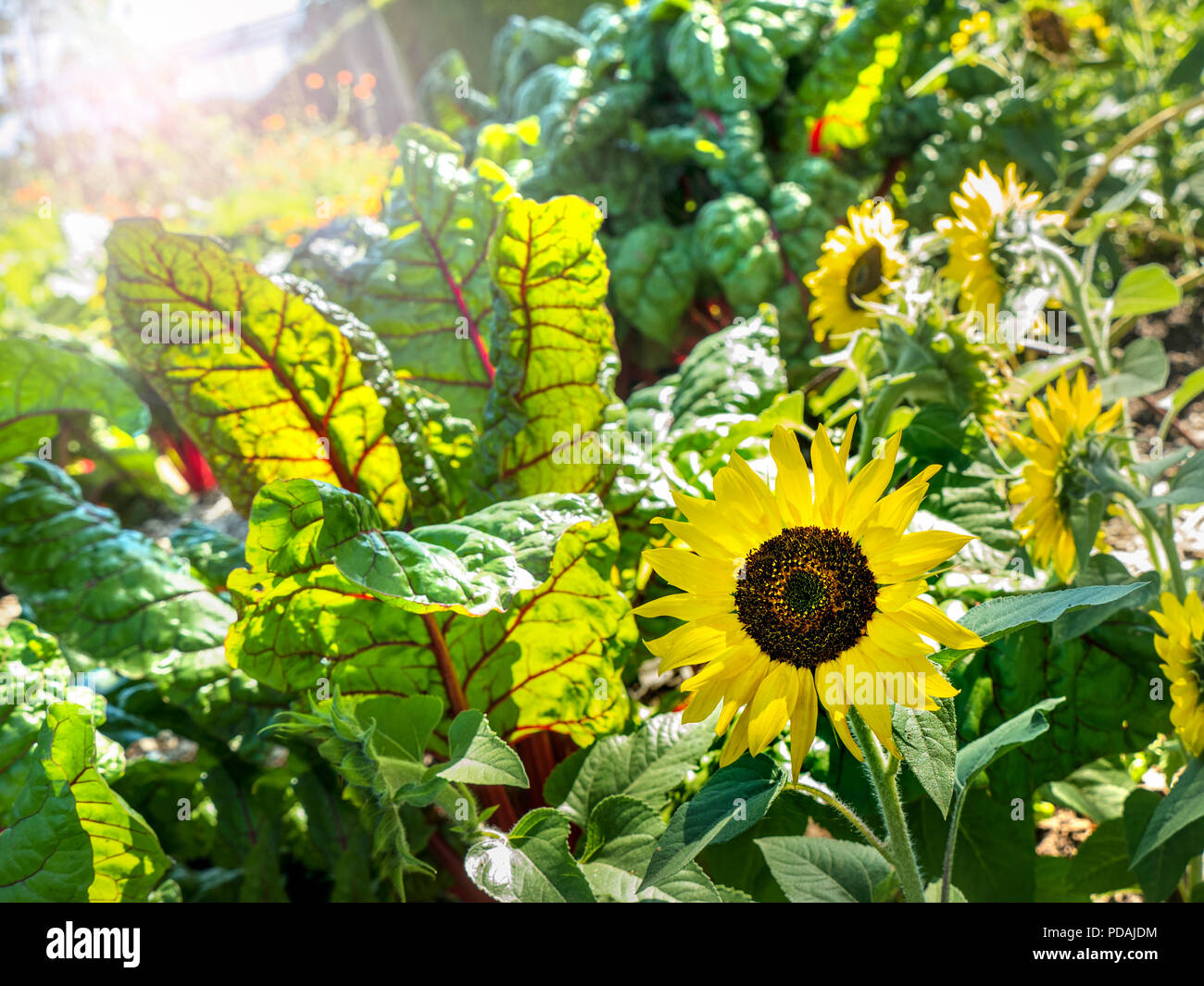 RHUBARB CHARD Organic thriving sunny vegetable garden with leaf beet / Beta vulgaris subsp. cicla var. flavescens 'Rhubarb leaf beet with sunflowers - Stock Image