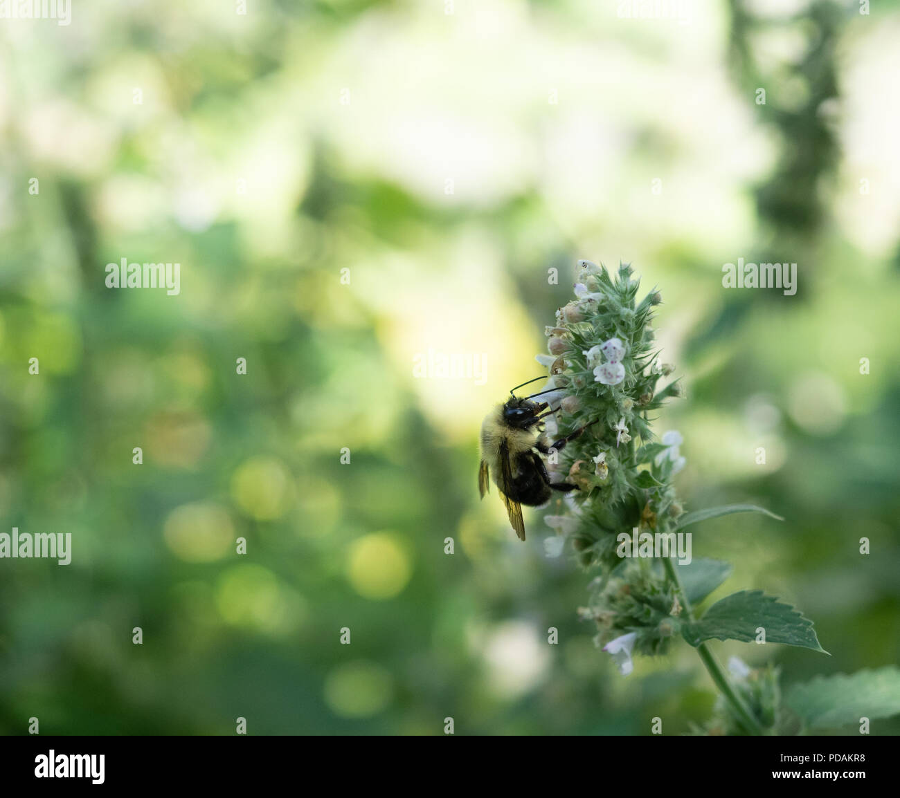 a honey bee gathering pollen from blossoms on a catnip plant  image has  shallow depth
