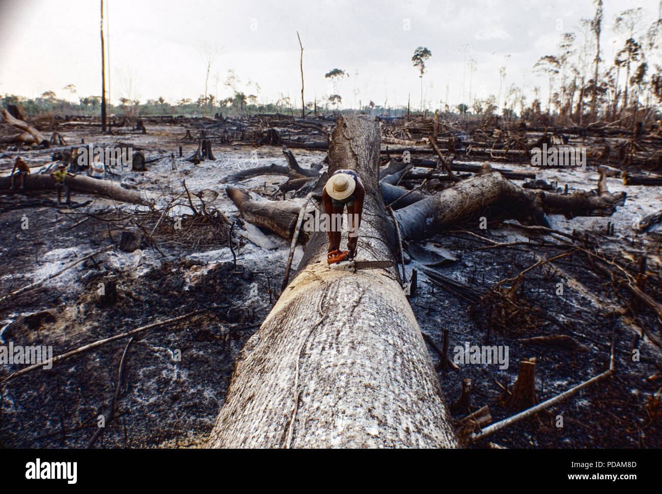 Logging, Amazon rainforest clearance, workers cut down a large tree using chainsaw, Acre State, Brazil. - Stock Image