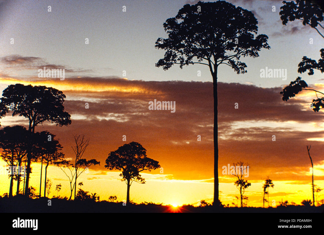 Isolated Brazil nut tree sentenced to death after Amazon rainforest clearance, near Rio Branco city, Acre State, Brazil - Amazon deforestation - Stock Image