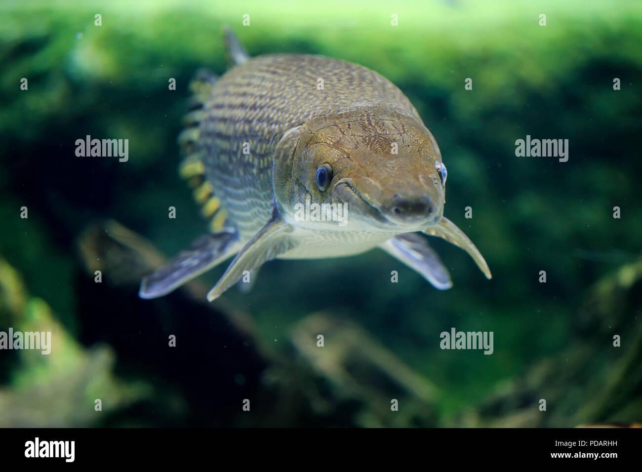 Alligator gar, North America, Atractosteus spatula - Stock Image