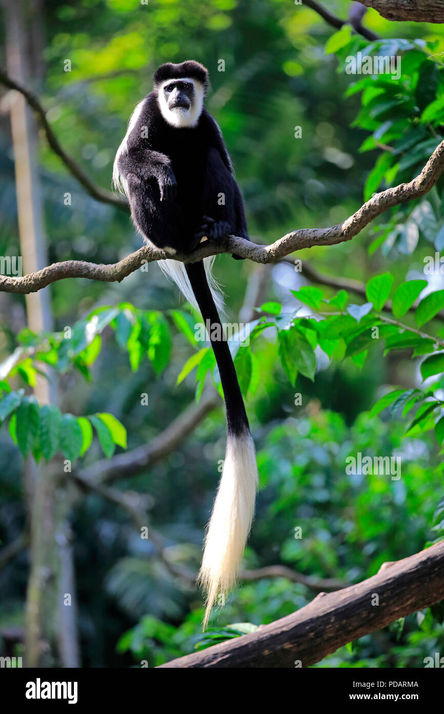 Angolan black and white Colobus, adult on tree, Africa, Colobus angolensis - Stock Image